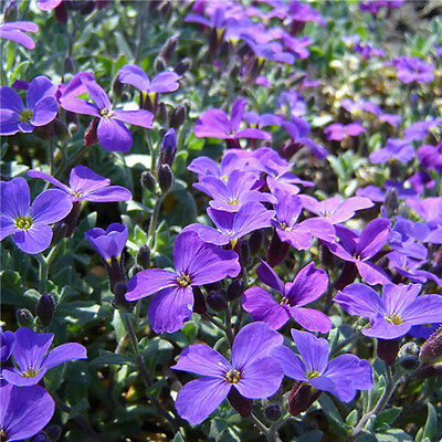 200 Romantic Purple mustard seeds garden fence decor Purple Flower Easy to Plant