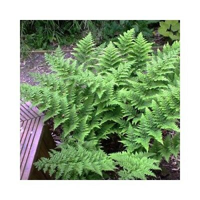 April - May Fern Collection Pot Plant Rare Exotic