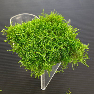 Mini South America Moss Pad Stainless Steel Mesh - Live Aquarium Plants Tank