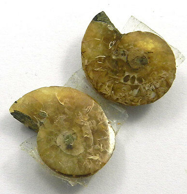 3.43GM 1Pair A++ NATURAL AMMONITE FOSSIL 16x20MM natural shape cabochon gemstone