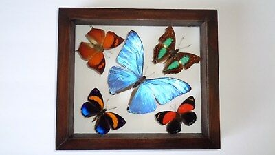 "5 Real Framed Butterflies Size 6.5""x7.5""inches Double Glass"" Special Butterfly"""