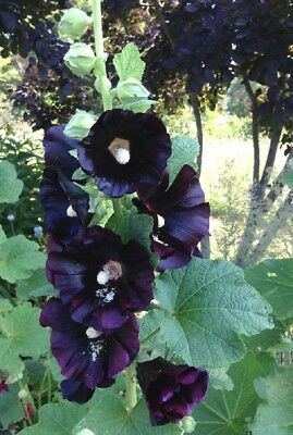 25 Rare Dark Black Purple Hollyhock Seeds Perennial Giant Flower Garden Plant
