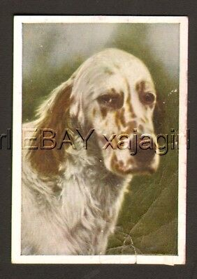 DOG English Setter Portrait, Antique 1930 Trading Card
