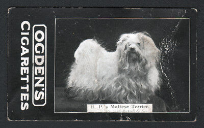 DOG Maltese Terrier (Owner ID) Photo Trading Card, 1902