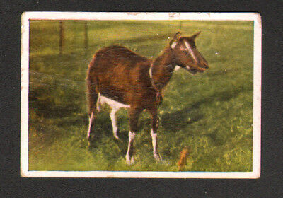 Goat Landace Bezoar, Antique Danish 1930 Trading Card