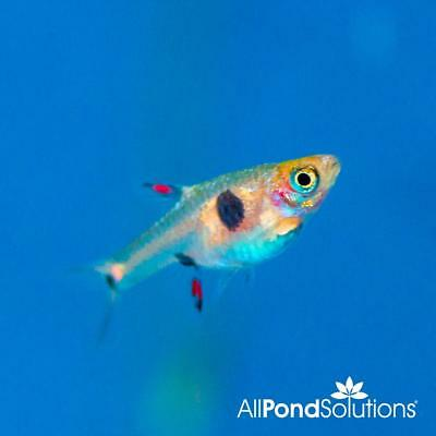 Live Tropical Aquarium Fish for Sale - Spotted Dwarf Rasbora - Bundles 5 - 20