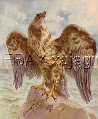 BIRD Eagle Stunning Antique Chromolith 1890s Print