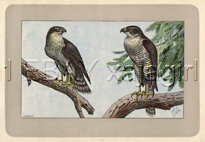 BIRD Goshawk Bird of Prey, Rare Antique 100-Year-Old French Bird Print-- Nice