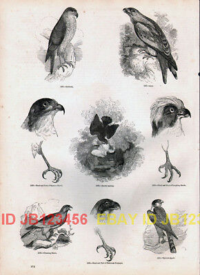 BIRD Goshawk, Kite, Sparrowhawk, Antique 1840s Print