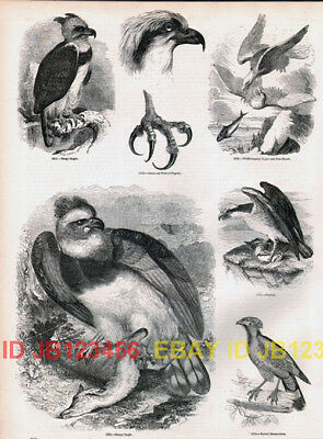 BIRD Harpy Eagle, Osprey Bald Eagle Antique 1840s Print