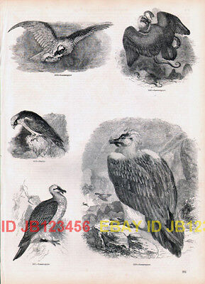BIRD Lammergeier or Bearded Eagle Antique 1840s Print