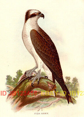 BIRD Osprey Sea Hawk, Beautiful 1897 Antique Print