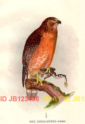 BIRD Red Shouldered Hawk (Mature), 1897 Antique Print