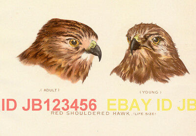 BIRD Red SHouldered Hawk Portraits 1897 Antique Print