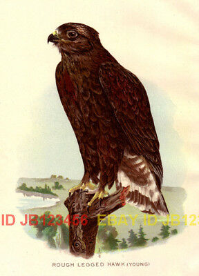 BIRD Rough Legged Hawk (Immature), 1897 Antique Print