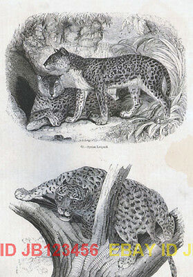 LEOPARD, Two Views, Nice Antique 1840s Print