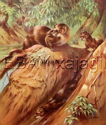 Otter Family Playing on Mud Slide Large 1930s Art Print