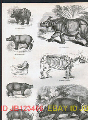 Rhinoceros Indian & African, Antique 1840s Print