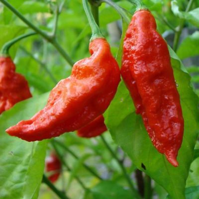 20pcs Ghost pepper Seeds Hot Chilli Pepper Garden Heirloom Vegetable Seeds