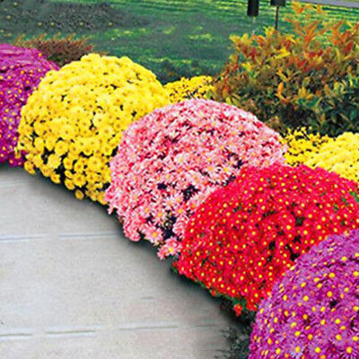 100X Ground-cover chrysanthemum seeds perennial daisy flower seeds mix color