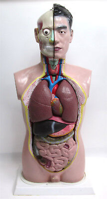 Paul Male Torso Model Life Size Anatomical Anatomy Medical Educational 19 Part