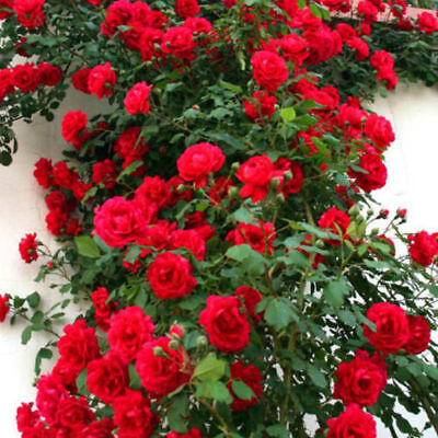 100 Climbing Rose Flower Seeds Viable Rosa Multiflora Fragrant Home Garden Decor