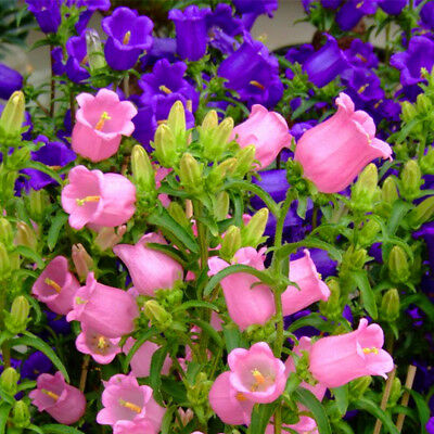 Flower Seeds Peach-leaved Bellflower Mix (Campanula Persicifolia) Perennial