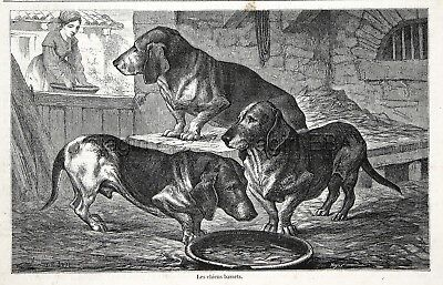 Dog Bassett Hound in Kennel 1860s Engraving Antique Print & Article