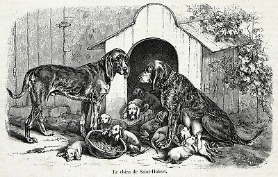 Dog Bloodhound Family with Pups Saint Hubert Hound 1860s Engraving Antique Print