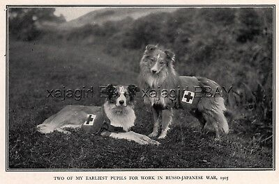 DOG Border Collie Red Cross War Dogs 1905 Russo-Japanese War, Rare Antique Print