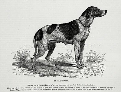 Dog Braque Du Puy Extinct Pointer, 1870s Antique Engraving Print & Breed Descrip
