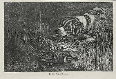 Dog Braque Saint-Germain St. Germain Pointer, 1870s Antique Print & Article