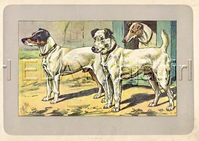 DOG Fox Terrier (Smooth & Wirehaired), , Rare Antique 100-Year-Old Dog Print