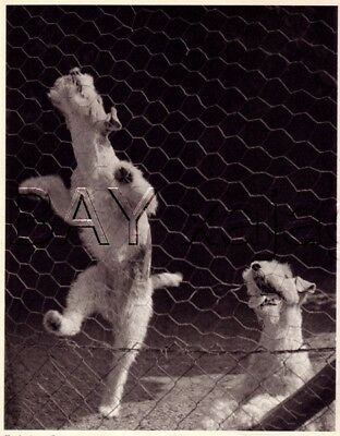 DOG Fox Terrier (Wire) Climbs Fence, Quality Vintage 1941 Print
