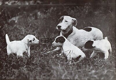 DOG Fox Terrier Smooth Coated Mother & Puppies, Vintage Print 1930s