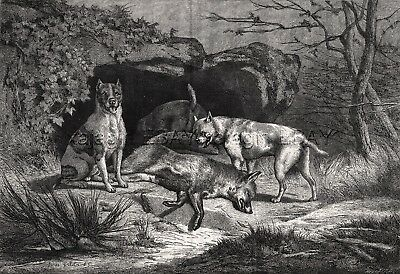 Dog Fox Terriers Hunt Fox at Den, Large 1870s Antique Engraving Print & Article