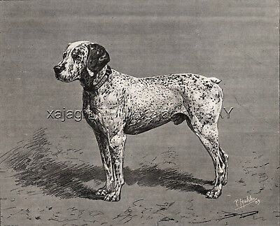 Dog French Bourbonnais Pointer (Named) Braque du Bourbonnais 1880s Antique Print