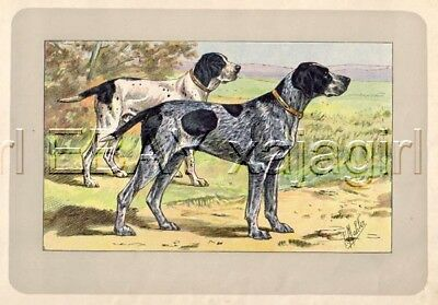 DOG French Pointer Auvergne (Braque Bleu), Rare Antique 100-Year-Old Print