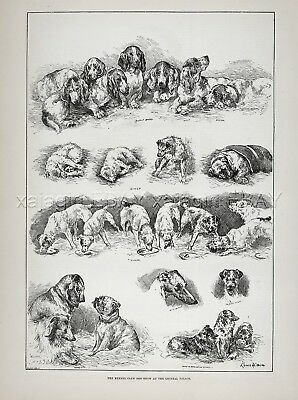 Dog Kennel Club Show Basset Hounds (Named) Artist Louis Wain 1880s Antique Print