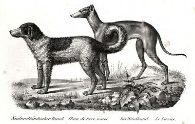 Dog Newfoundland & Greyhound As Breed Looked 170 Years Ago, 1842 Engraving Print