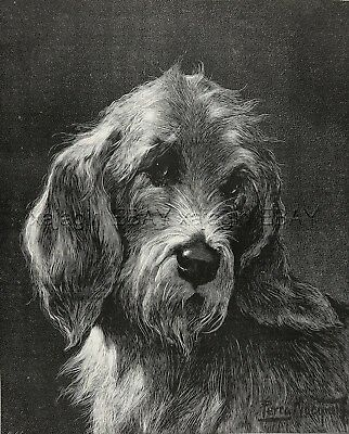 Dog Otterhound, Portrait of this Rare Breed, Large 1880s Antique Print