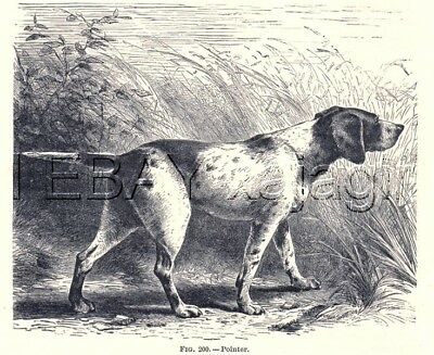 DOG Pointer English, Lovely Antique Woodcut Print, 1880s