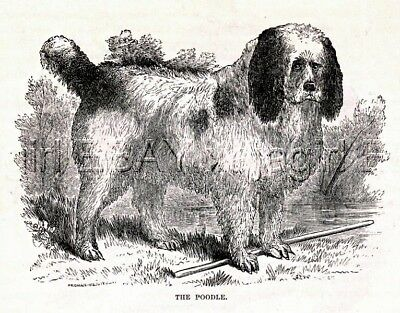 DOG Poodle How it looked 125 Years Ago! Beautiful Antique 1880s Print