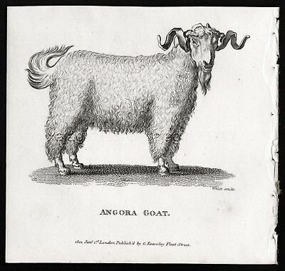Goat Angora, Antique Engraving Print from 1803 (200+ Yrs Old)
