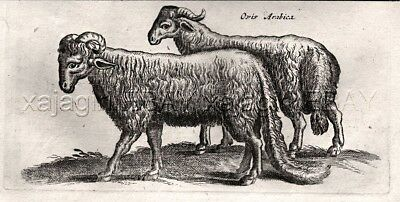 GOAT Arabian or Nubian, Antique 1657 Copper Engraving (350+ Years Old)
