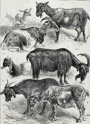 Goat Show Champions Named, Anglo-Nubian, Pyrenean, Hornless 1880s Antique Print