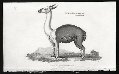 Guanaco Wild LLama, Rare Antique Engraving Print from 1803 (200+ Years Old)