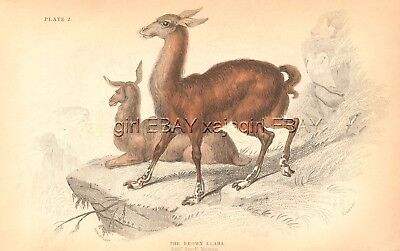 LLama Pair on Cliff, Beautiful Antique 1834 Hand-Colored Engraving