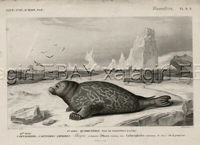 MARINE Harbor Seal on Ice, Antique 1840s Hand-Colored Engraving