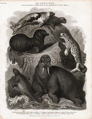 MARINE Manatee, Walrus, Seals, Antique 1820 Steel Engraving Print